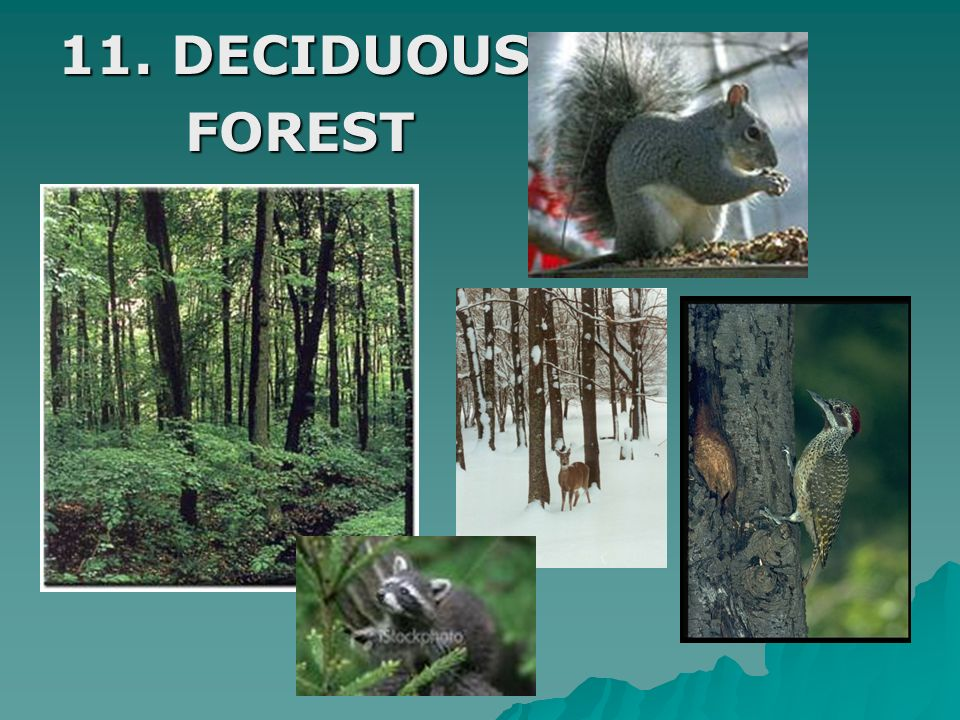 11. DECIDUOUS FOREST
