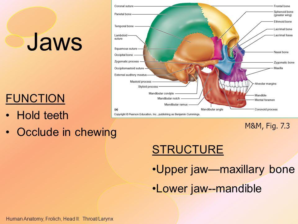 Human Anatomy, Frolich, Head II: Throat/Larynx