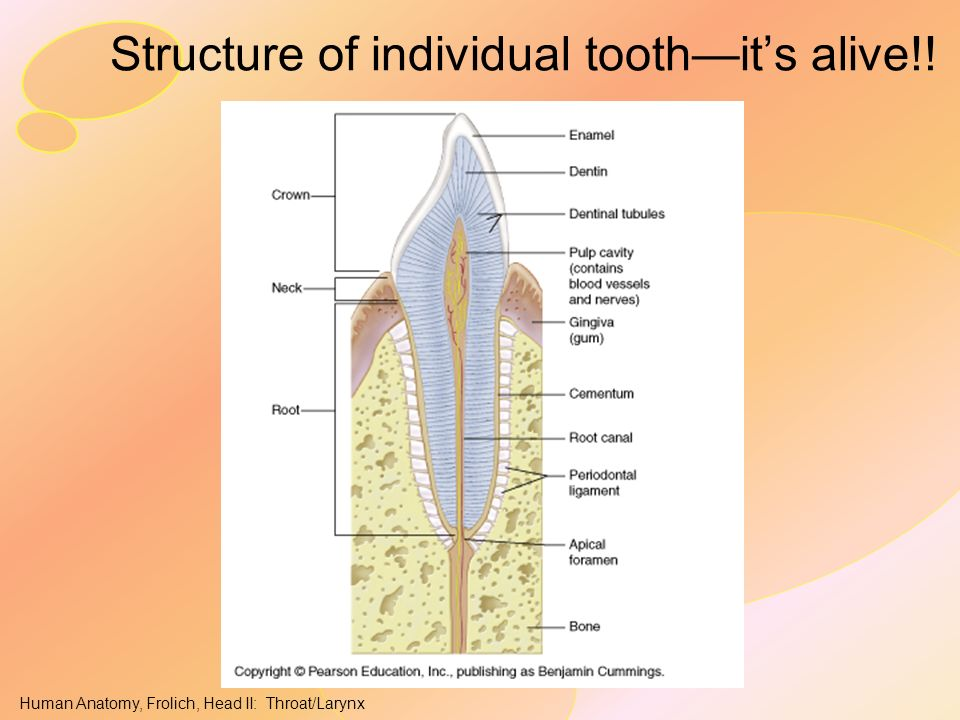 Structure of individual tooth—it's alive!!