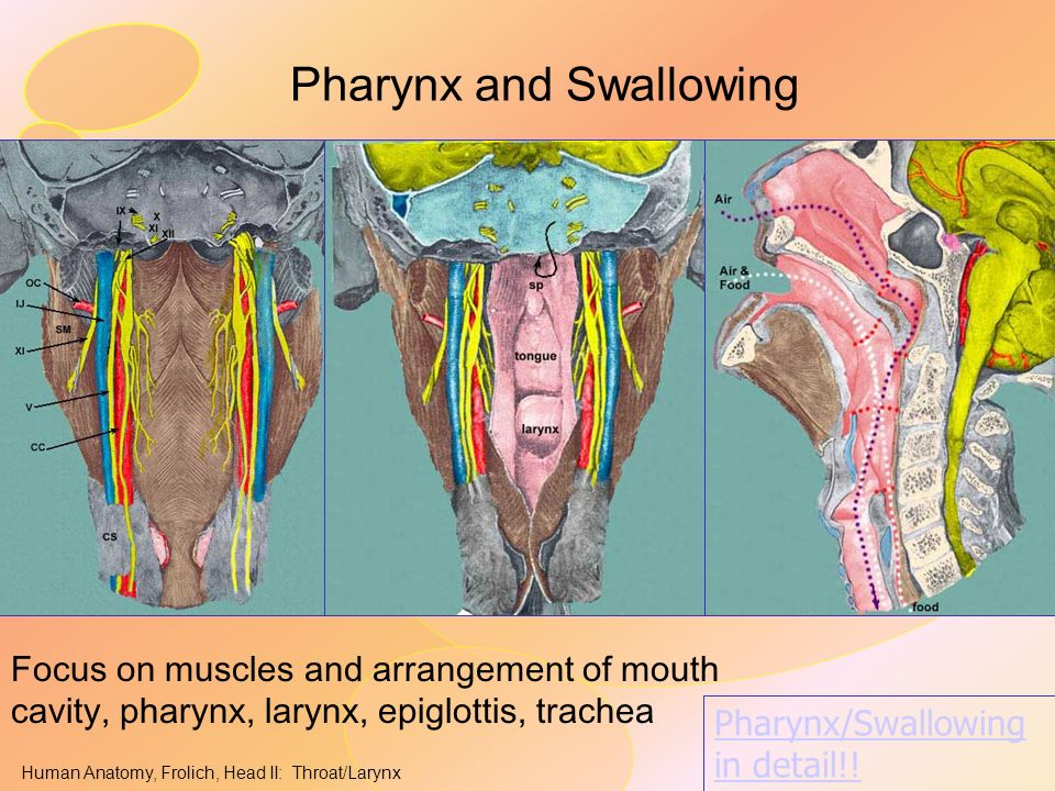 Anatomy of pharynx and larynx