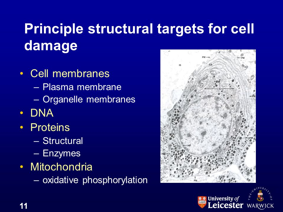 Principle structural targets for cell damage
