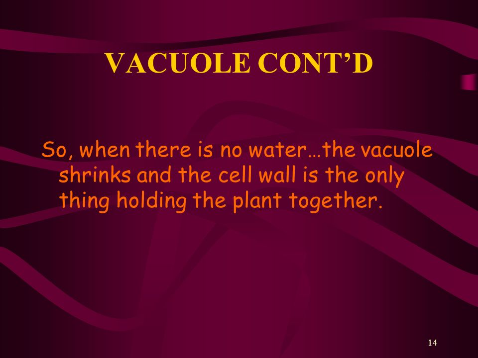 VACUOLE CONT'D So, when there is no water…the vacuole shrinks and the cell wall is the only thing holding the plant together.