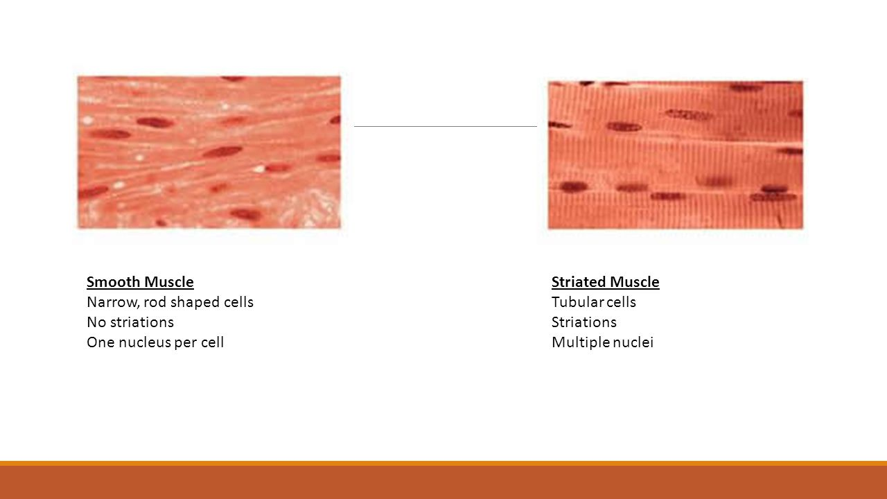 Smooth Muscle Narrow, rod shaped cells. No striations. One nucleus per cell. Striated Muscle. Tubular cells.