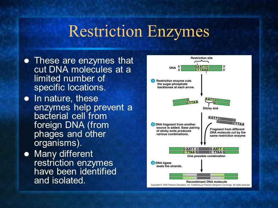 Restriction Enzymes These are enzymes that cut DNA molecules at a limited number of specific locations.
