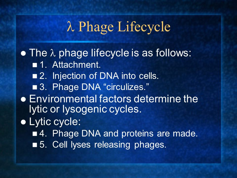  Phage Lifecycle The  phage lifecycle is as follows: