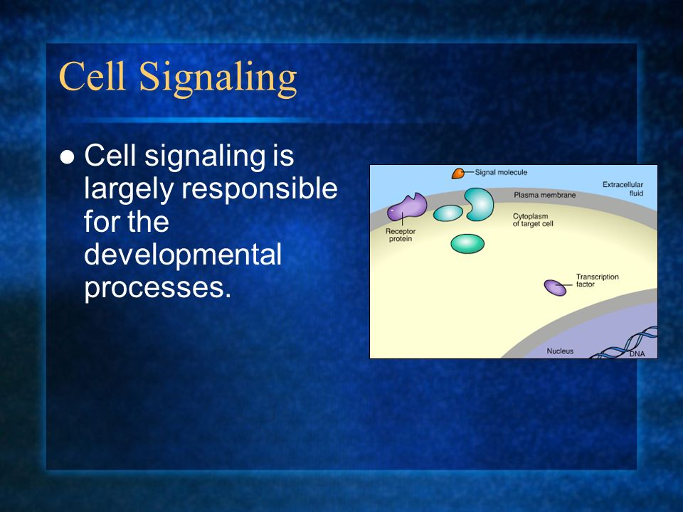 Cell Signaling Cell signaling is largely responsible for the developmental processes.