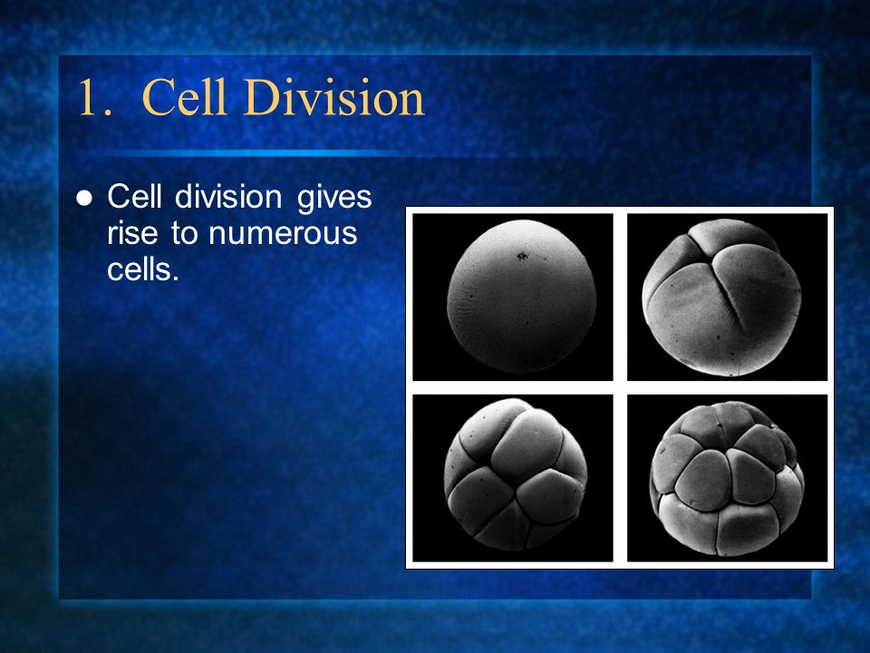 1. Cell Division Cell division gives rise to numerous cells.