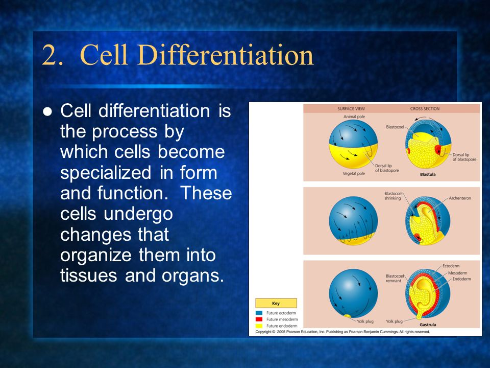 2. Cell Differentiation