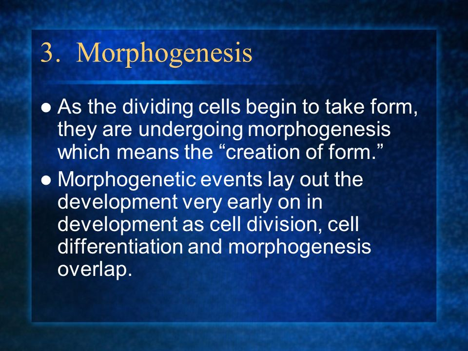 3. Morphogenesis As the dividing cells begin to take form, they are undergoing morphogenesis which means the creation of form.