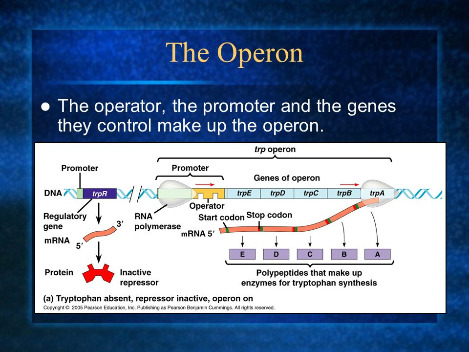 The Operon The operator, the promoter and the genes they control make up the operon.