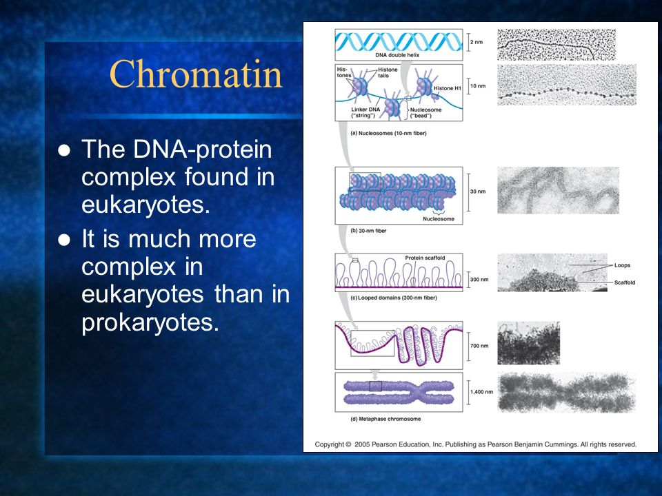 Chromatin The DNA-protein complex found in eukaryotes.