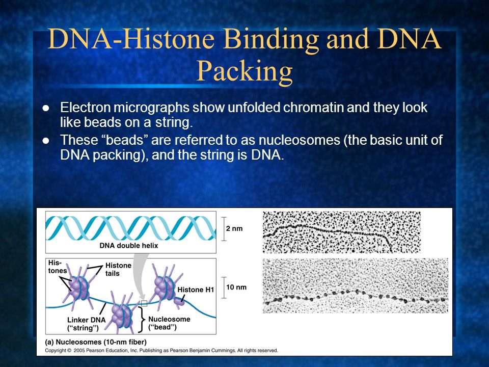 DNA-Histone Binding and DNA Packing