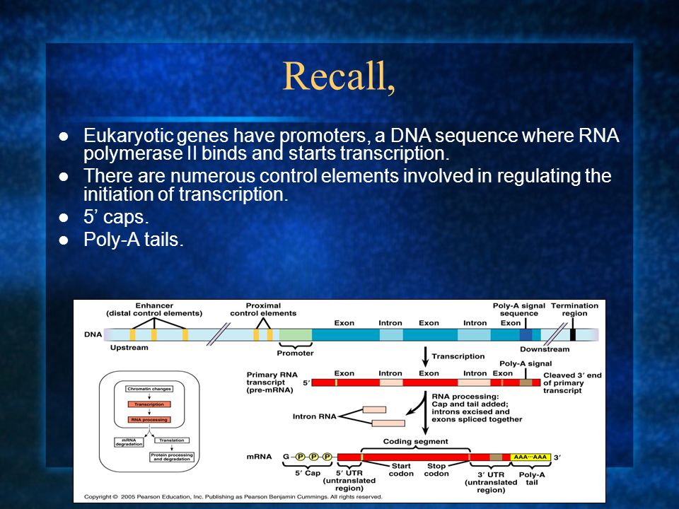 Recall, Eukaryotic genes have promoters, a DNA sequence where RNA polymerase II binds and starts transcription.