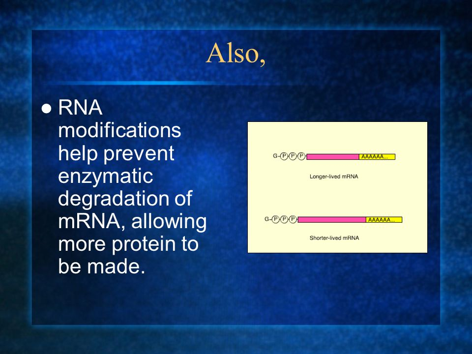 Also, RNA modifications help prevent enzymatic degradation of mRNA, allowing more protein to be made.