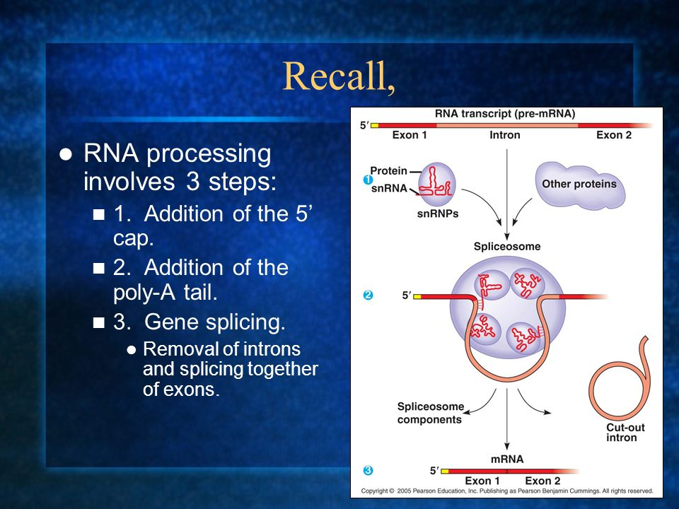 Recall, RNA processing involves 3 steps: 1. Addition of the 5' cap.
