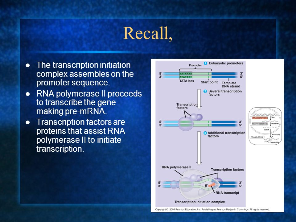 Recall, The transcription initiation complex assembles on the promoter sequence. RNA polymerase II proceeds to transcribe the gene making pre-mRNA.