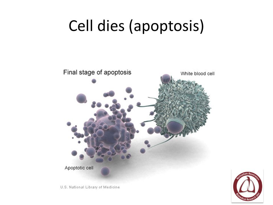 Cell dies (apoptosis)