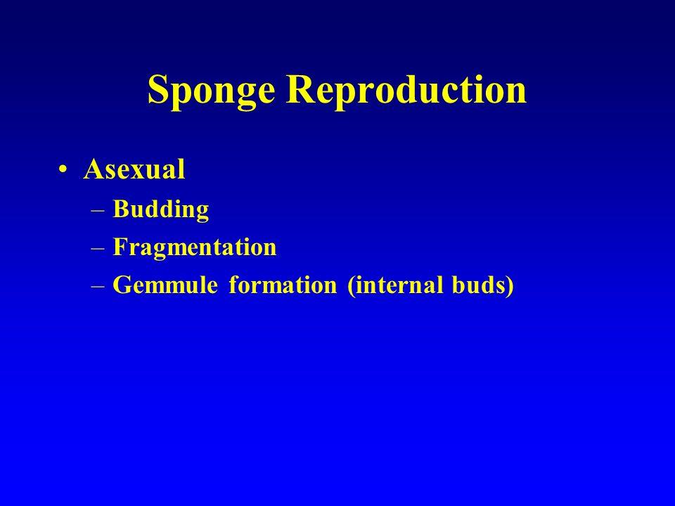 Sponge Reproduction Asexual Budding Fragmentation