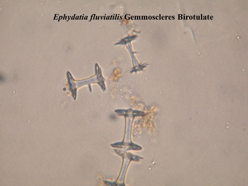 Ephydatia fluviatilis Gemmoscleres Birotulate