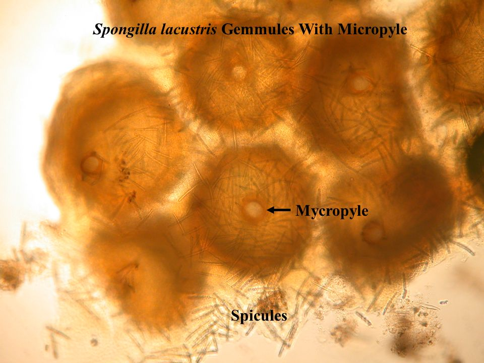Spongilla lacustris Gemmules With Micropyle
