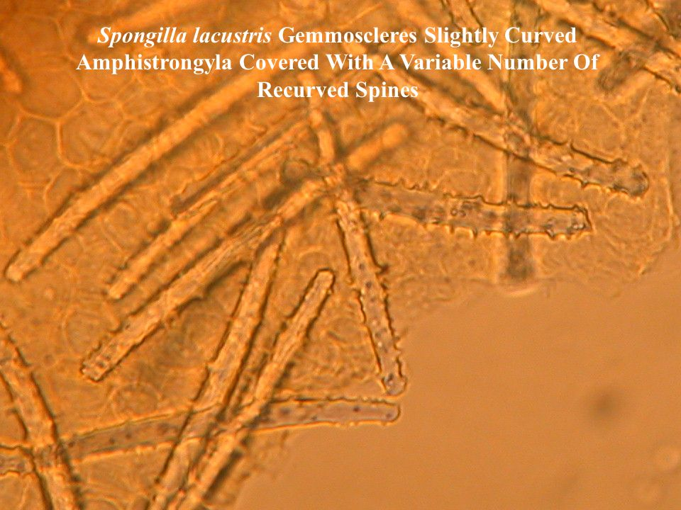 Spongilla lacustris Gemmoscleres Slightly Curved Amphistrongyla Covered With A Variable Number Of Recurved Spines