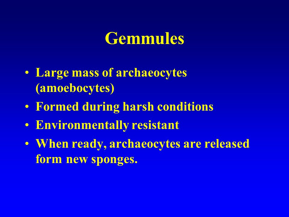 Gemmules Large mass of archaeocytes (amoebocytes)
