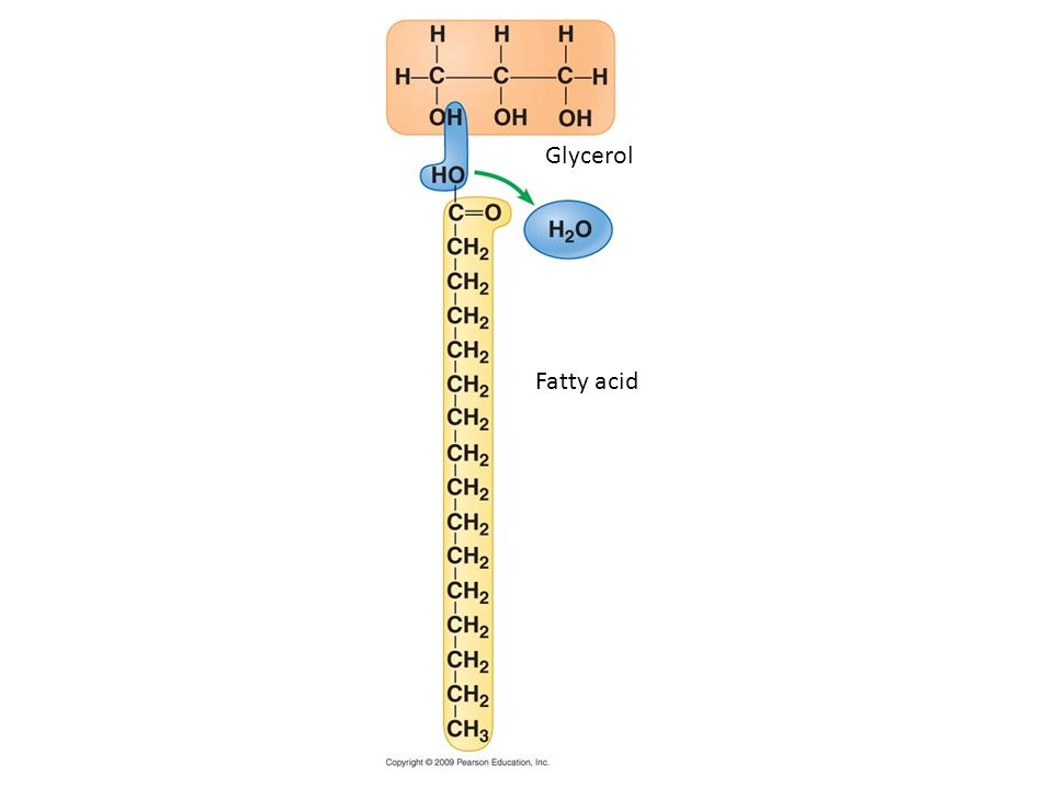 Glycerol Fatty acid Figure 3.8B A dehydration reaction linking a fatty acid to glycerol.