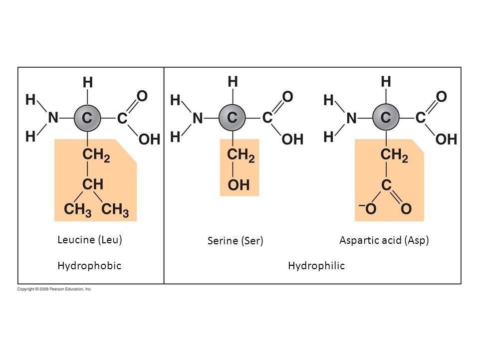 Leucine (Leu) Serine (Ser) Aspartic acid (Asp) Hydrophobic Hydrophilic