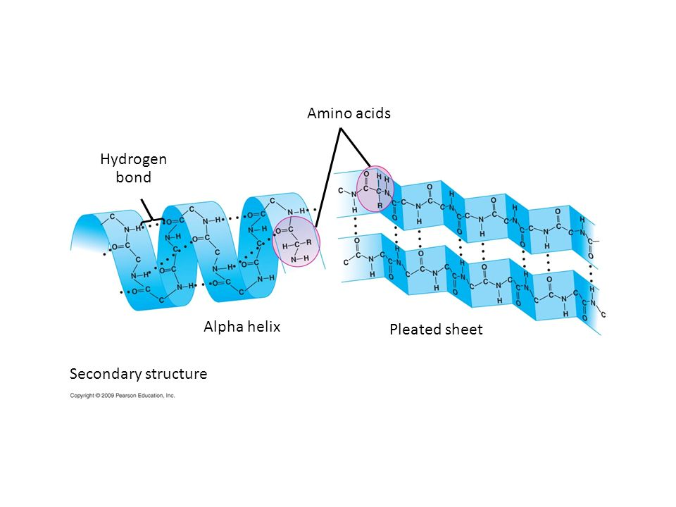 Amino acids Hydrogen bond Alpha helix Pleated sheet
