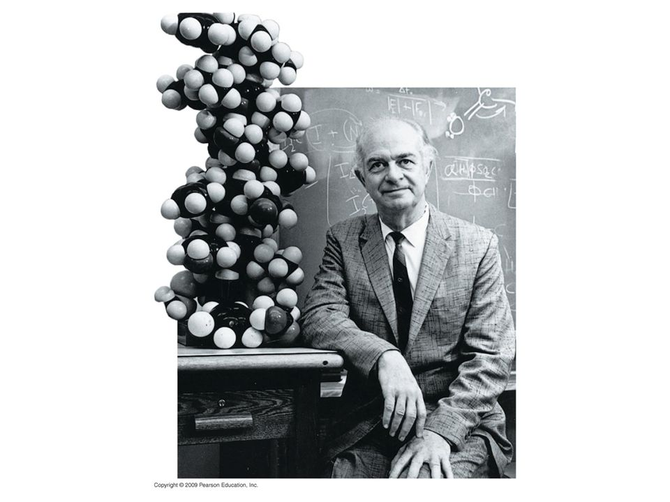 Figure 3.15 Linus Pauling with a model of the alpha helix in 1948.