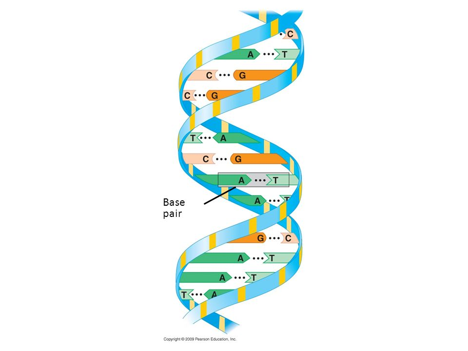 Base pair Figure 3.16C DNA double helix.