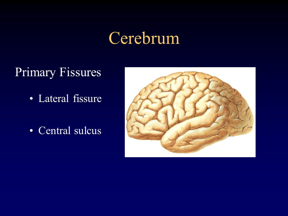 Cerebrum Primary Fissures Lateral fissure Central sulcus
