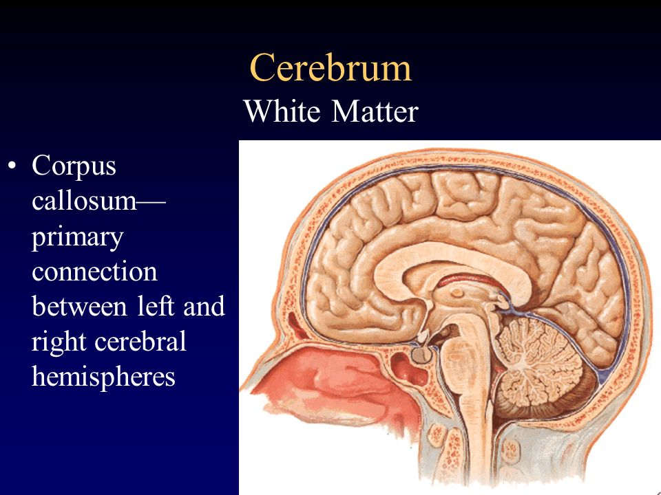 Cerebrum White MatterCorpus callosum— primary connection between left and right cerebral hemispheres.