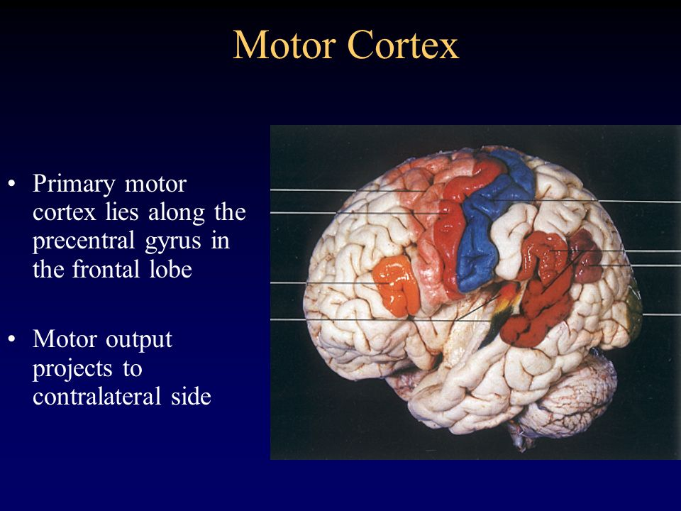 Motor Cortex Primary motor cortex lies along the precentral gyrus in the frontal lobe. Motor output projects to contralateral side.