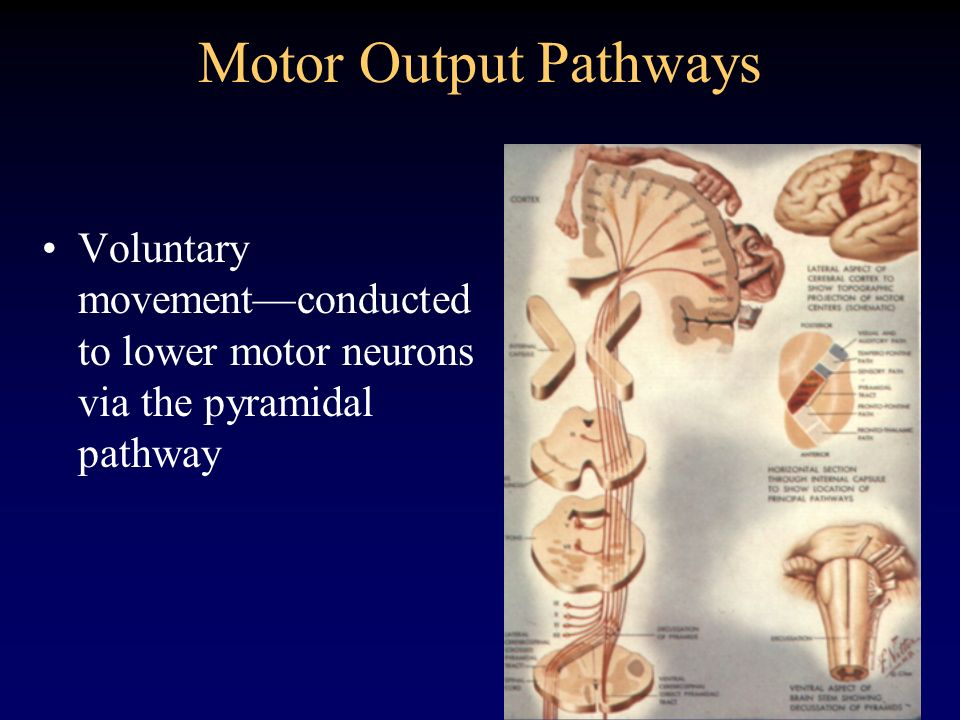 Motor Output Pathways Voluntary movement—conducted to lower motor neurons via the pyramidal pathway.