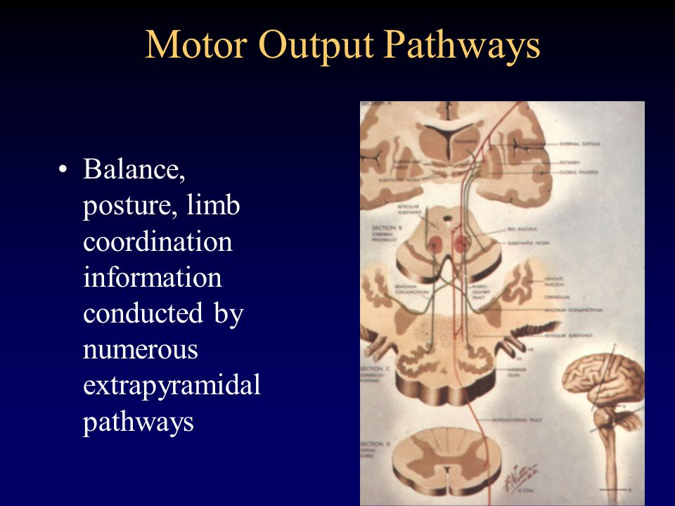 Motor Output PathwaysBalance, posture, limb coordination information conducted by numerous extrapyramidal pathways.