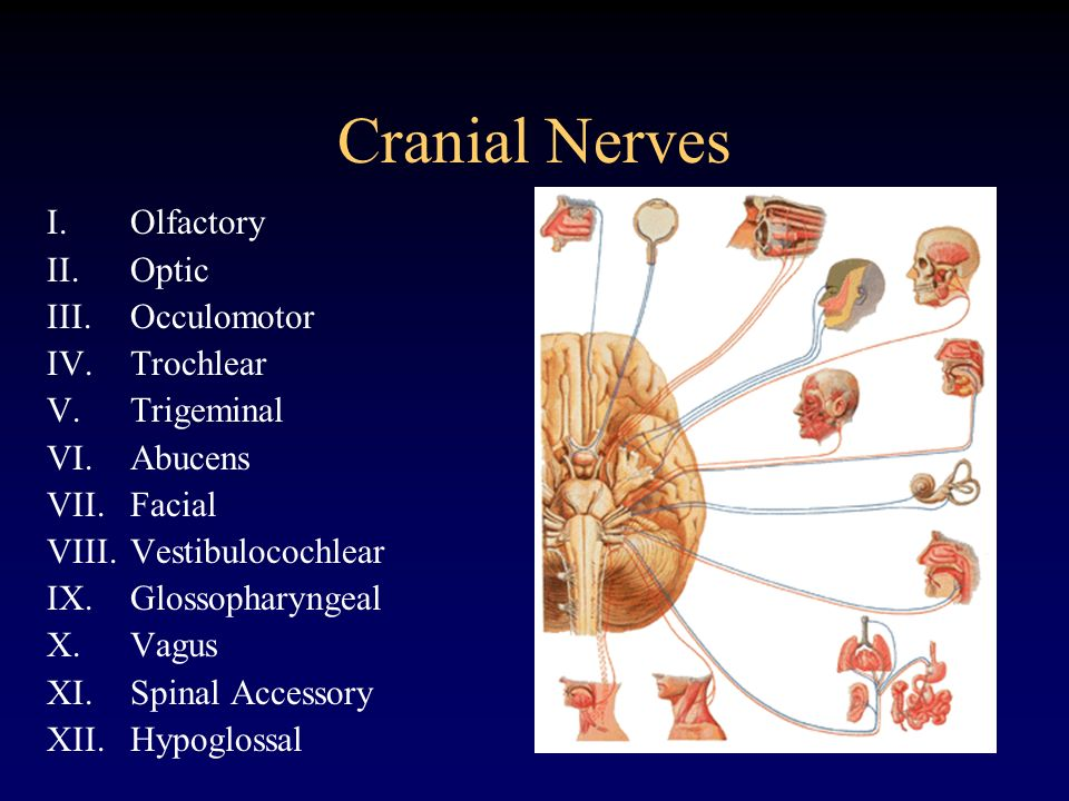 Cranial Nerves Olfactory Optic Occulomotor Trochlear Trigeminal