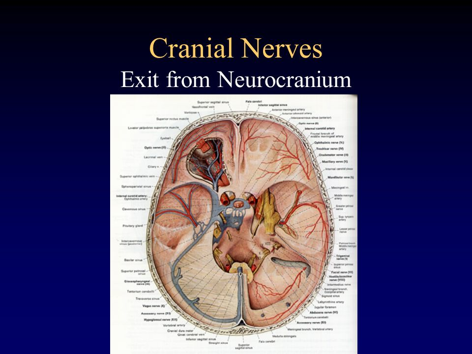 Cranial Nerves Exit from Neurocranium