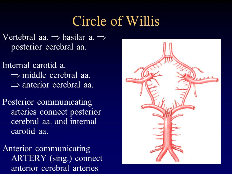 Circle of Willis Vertebral aa.  basilar a.  posterior cerebral aa.