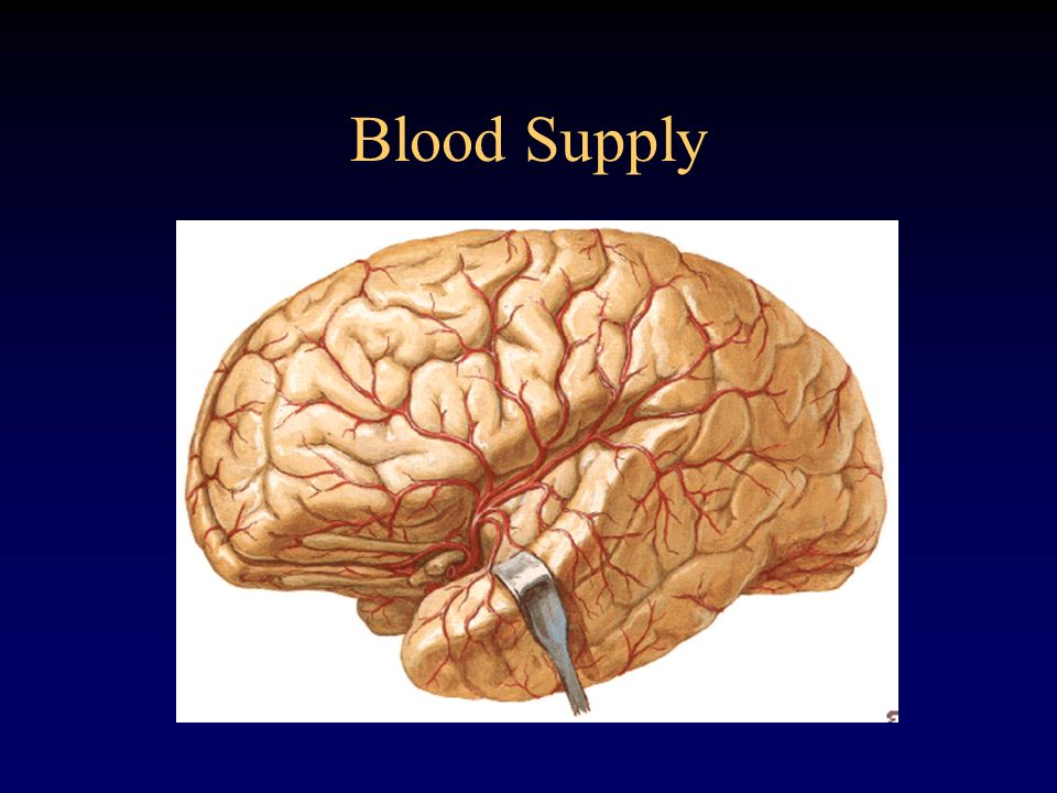 Blood Supply Middle runs between the base of frontal lobe and portion of temporal out to lateral portion of brain.