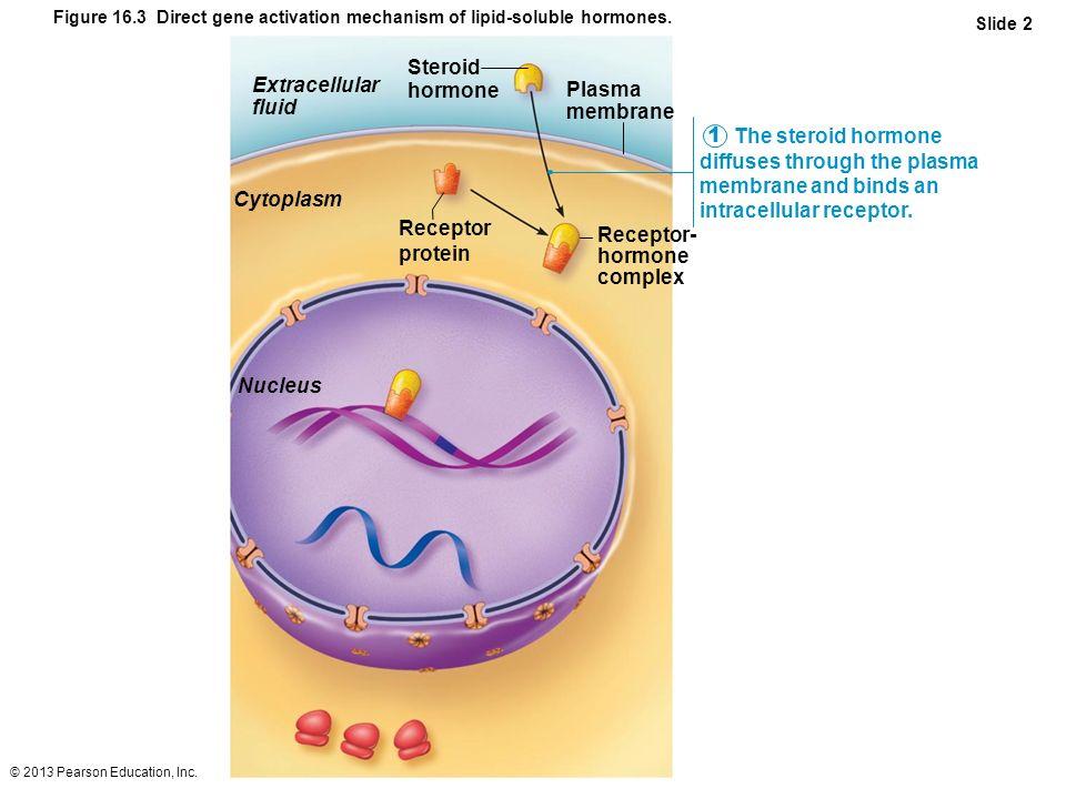 Steroid hormone Extracellular Plasma fluid membrane
