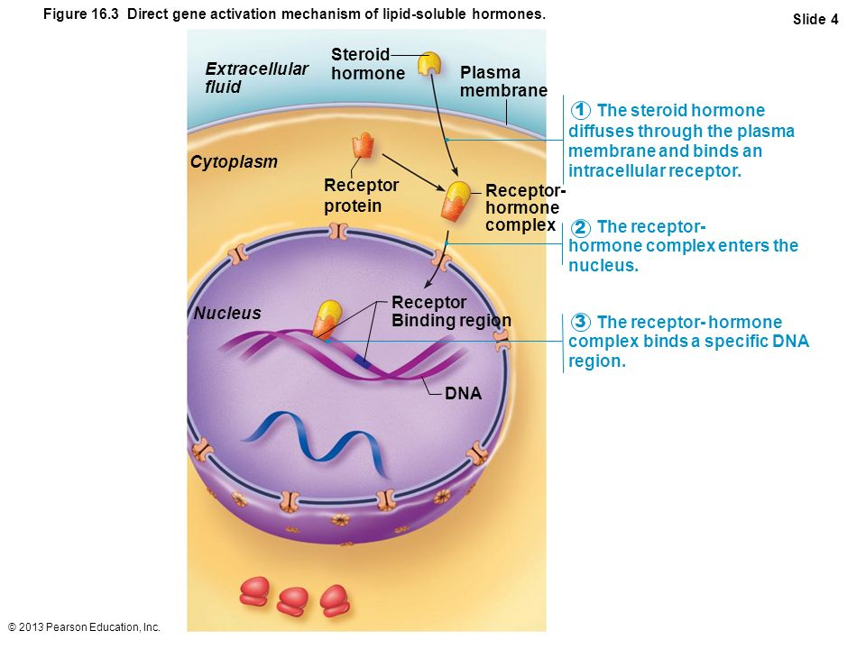 hormone complex enters the nucleus. 2