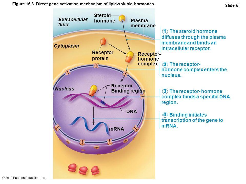 Cytoplasm Nucleus mRNA