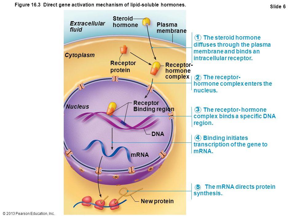 Cytoplasm Nucleus mRNA New protein