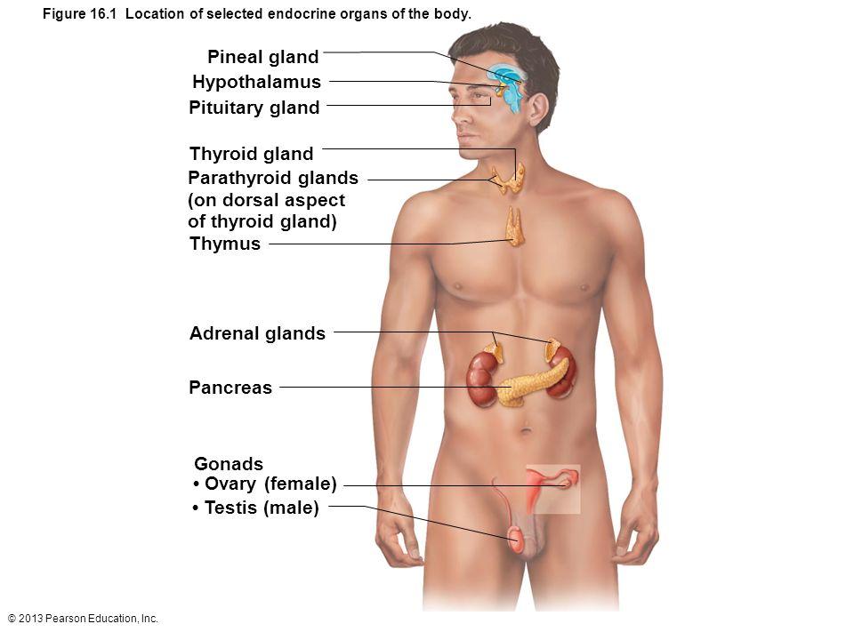 Pineal gland Hypothalamus Pituitary gland Thyroid gland
