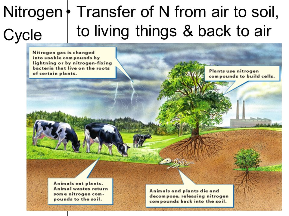 Nitrogen Cycle Transfer of N from air to soil, to living things & back to air
