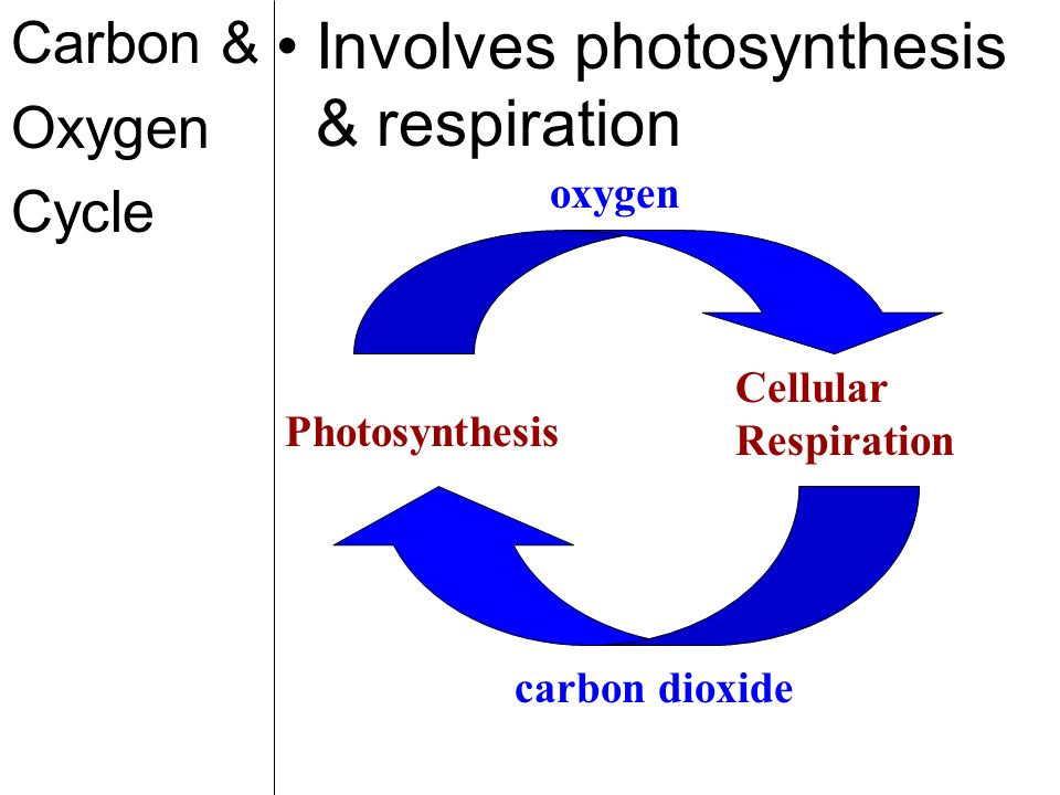 Involves photosynthesis & respiration