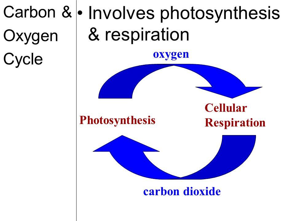 Involves photosynthesis & respiration