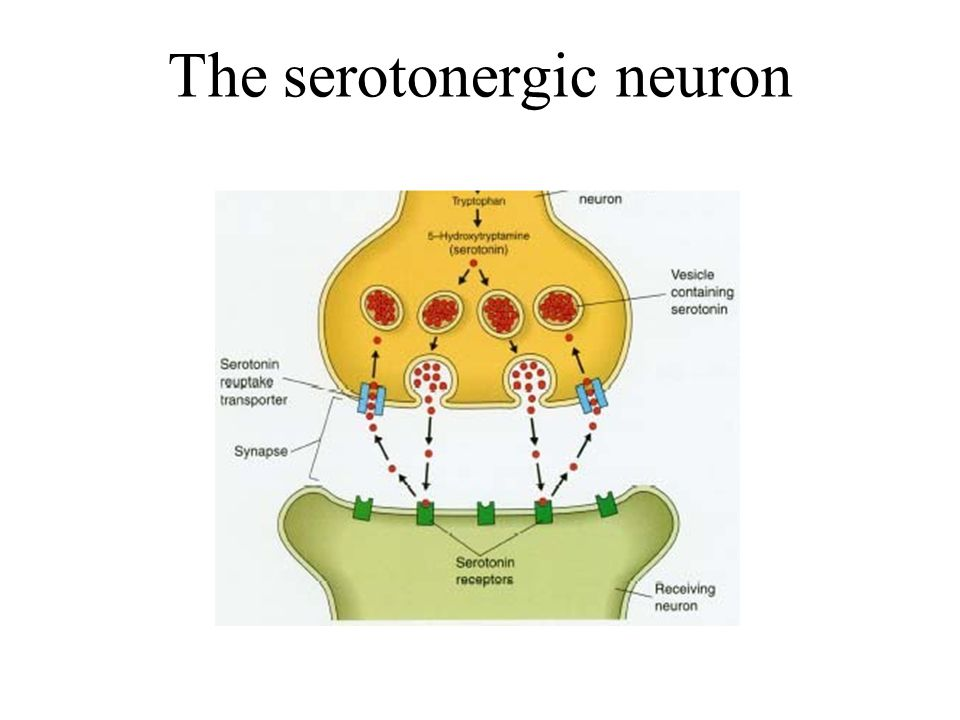 The serotonergic neuron
