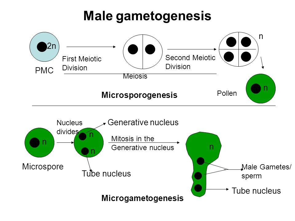 Male gametogenesis n 2n PMC n Microsporogenesis Generative nucleus n n